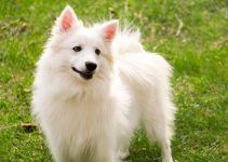 cachorro cão esquimó americano