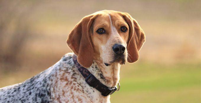 coonhound inglês