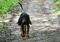 coonhound preto e castanho