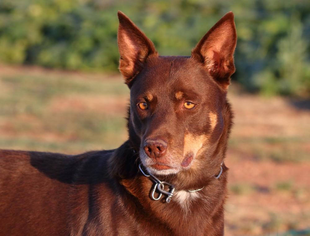 kelpie australiano cão