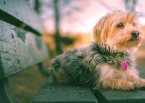 morkie cão