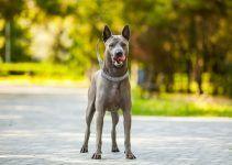 thai ridgeback cachorro