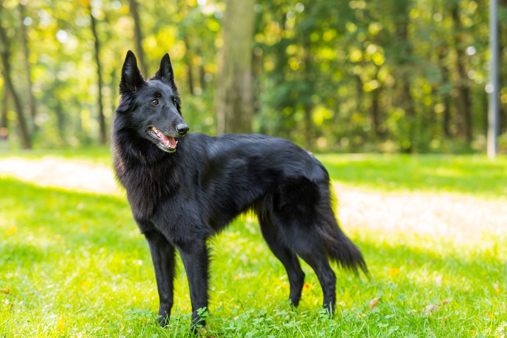 groenendael cachorro
