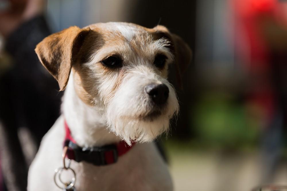 parson-russell cachorro