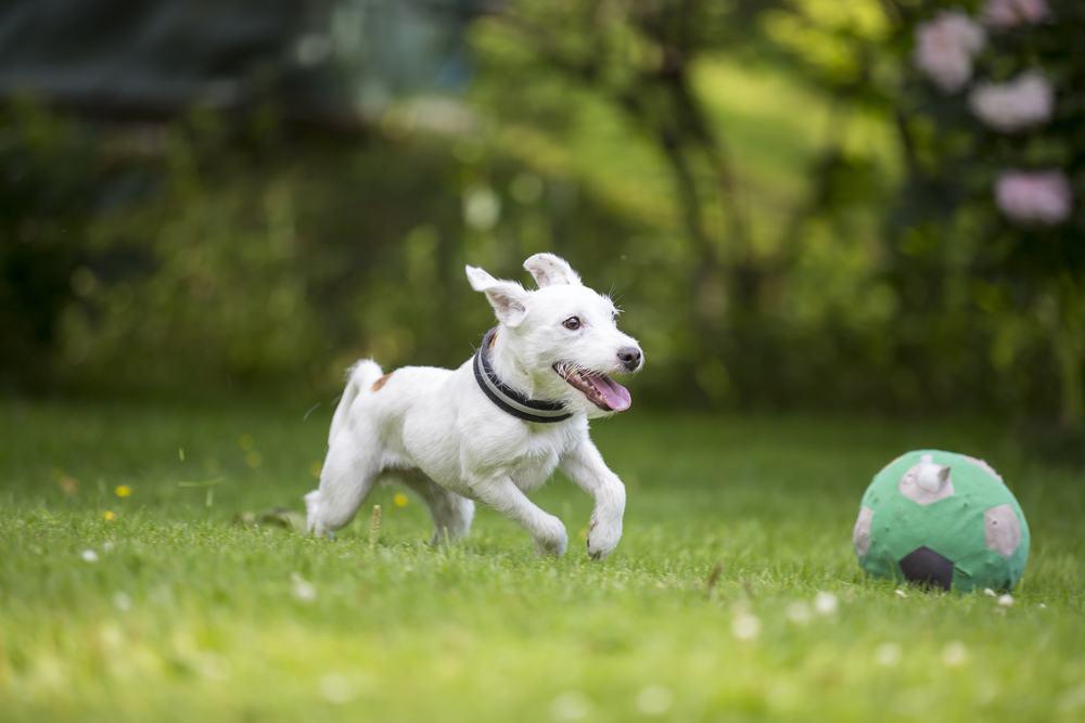 parson-russell cão
