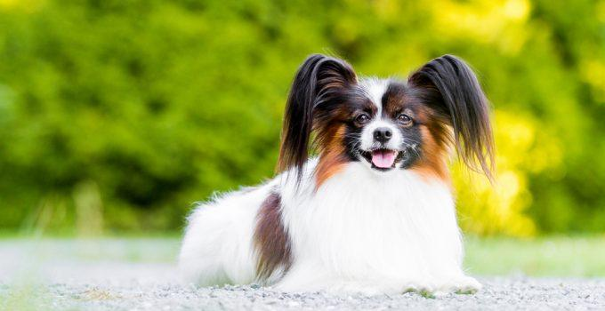 cão phalene