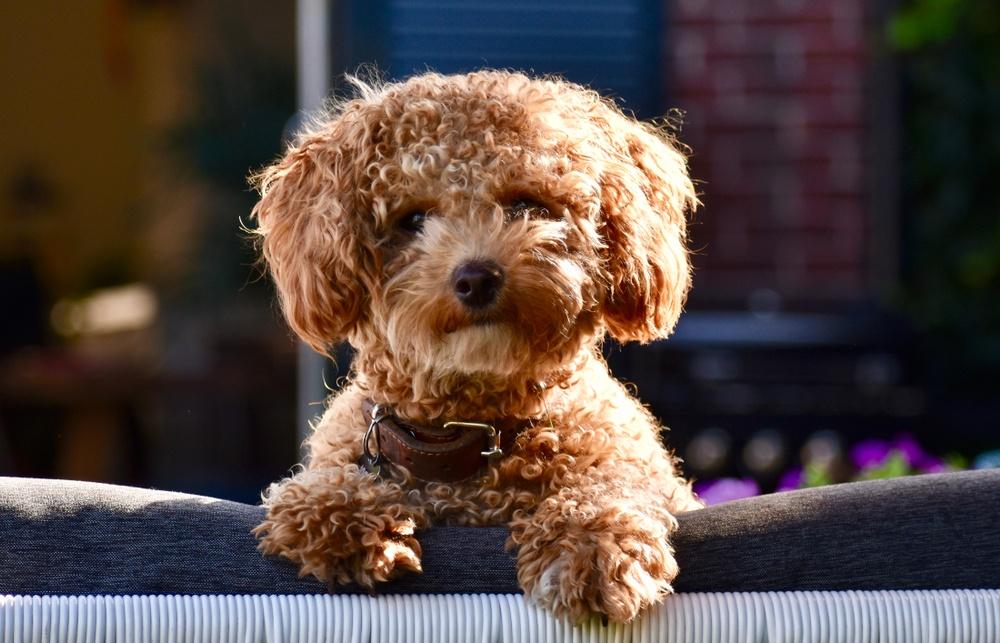 poochon cão