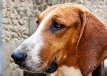 cão anglo francês