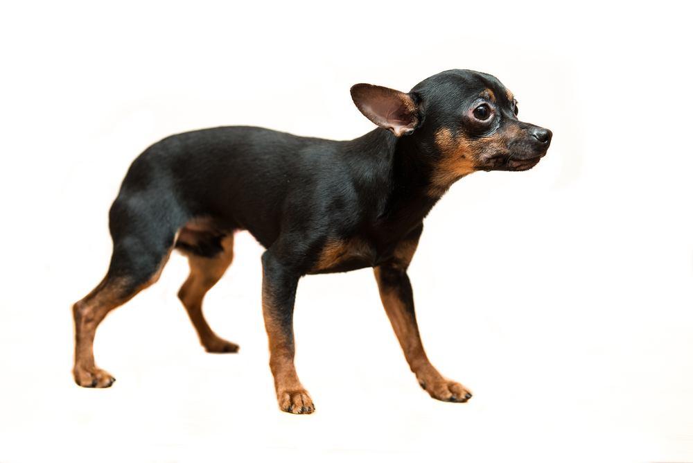 black and tan cão