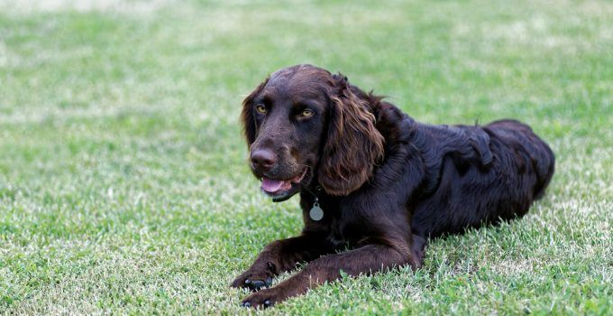 braco alemão de pelo longo cachorro