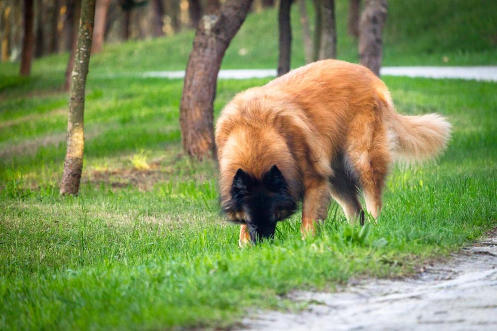cão da serra da estrela cão