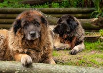 cão da serra da estrela cachorro