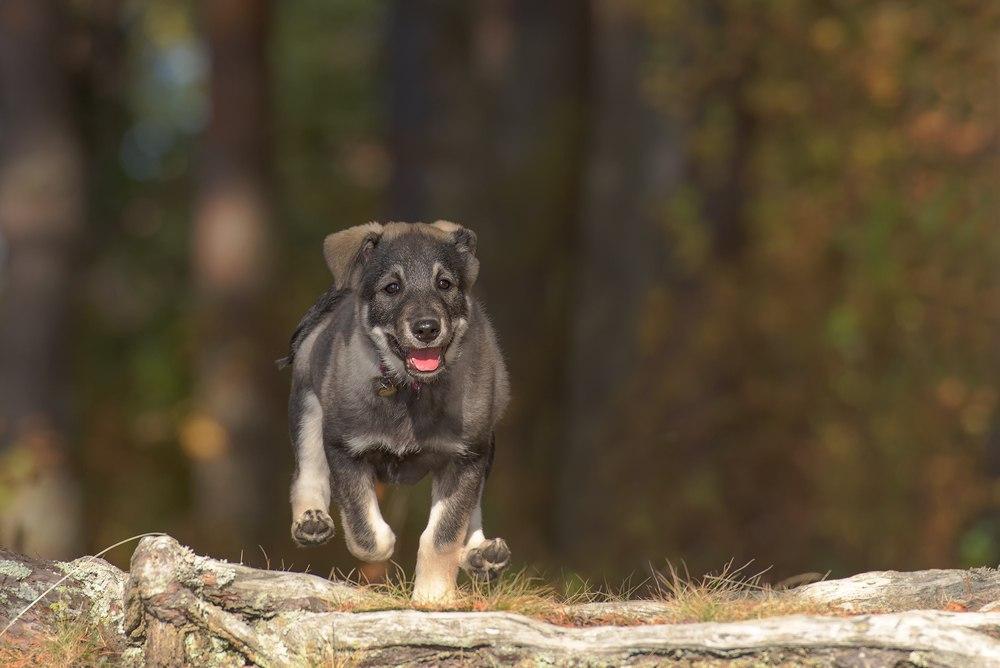 filhote de cão sueco
