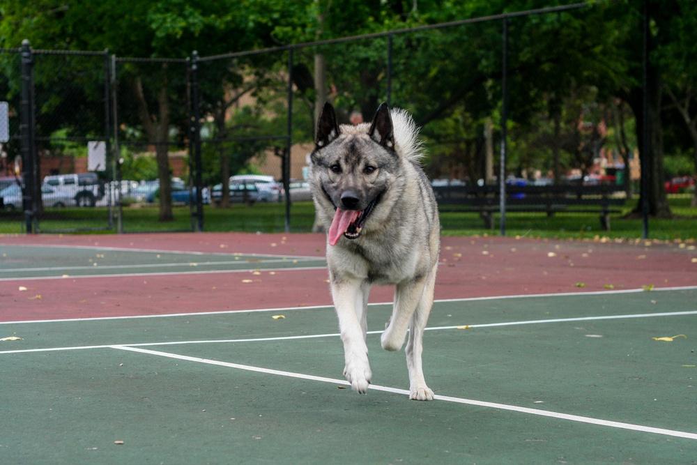 cão sueco