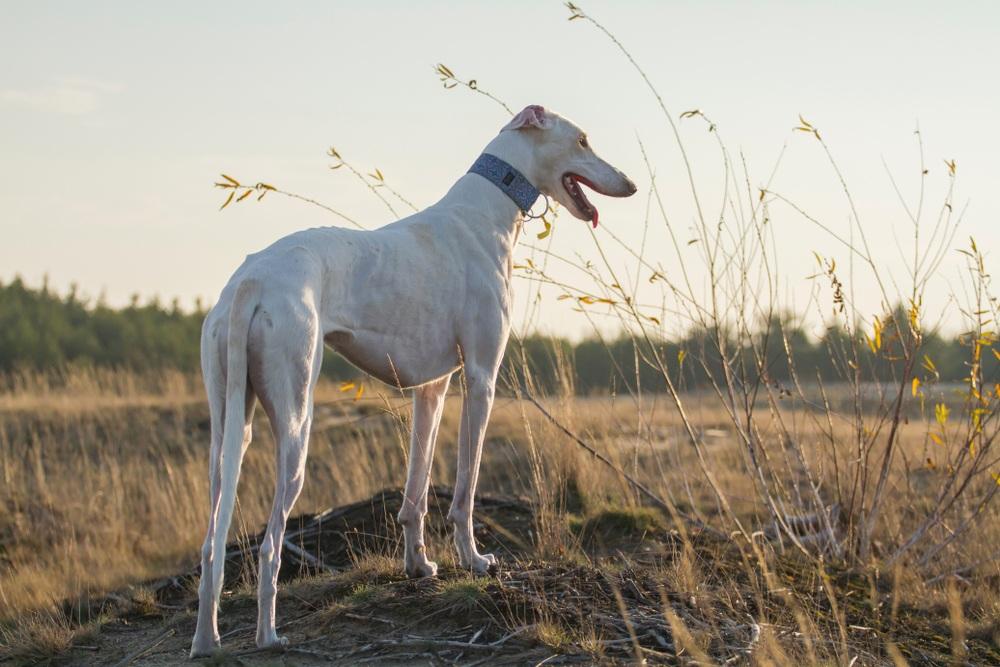 galgo polaco cão