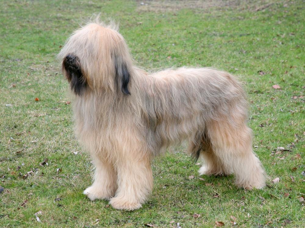 pastor de brie cão