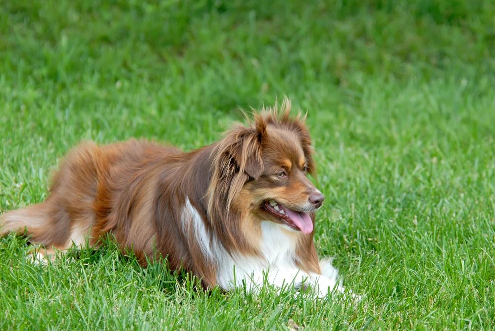cachorro pastor norte-americano