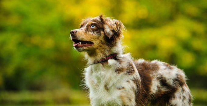 pastor norte-americano cachorro