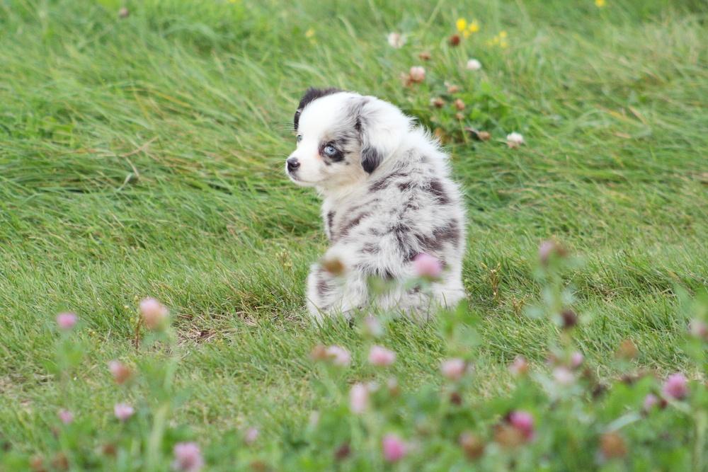 pastor norte-americano cão