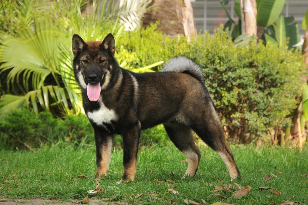 shikoku cão