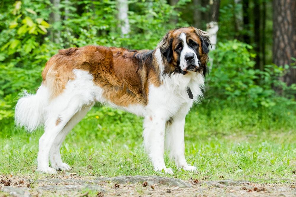 cão de guarda de moscou cachorro