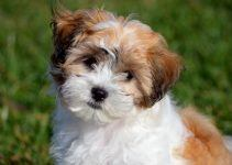 shichon cão
