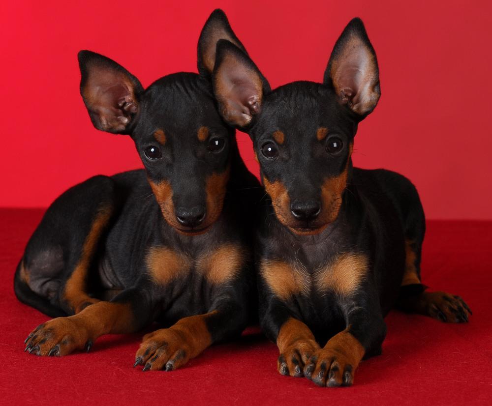 toy manchester terrier cachorro