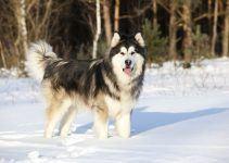 Malamute do Alasca cão