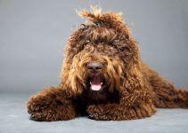 Barbet cão