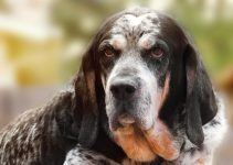 Bluetick Coonhound cão