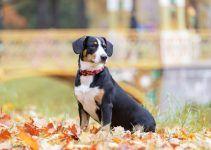 Boiadeiro de Entlebuch cachorro