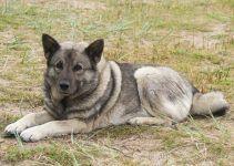 elkhound norueguês cachorro