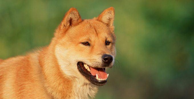 Jindo Coreano cão