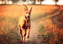pharaoh hound cão