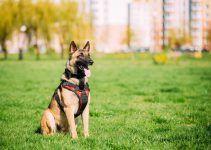 Pastor Belga Malinois cão