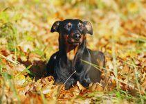 Pinscher alemão cachorro