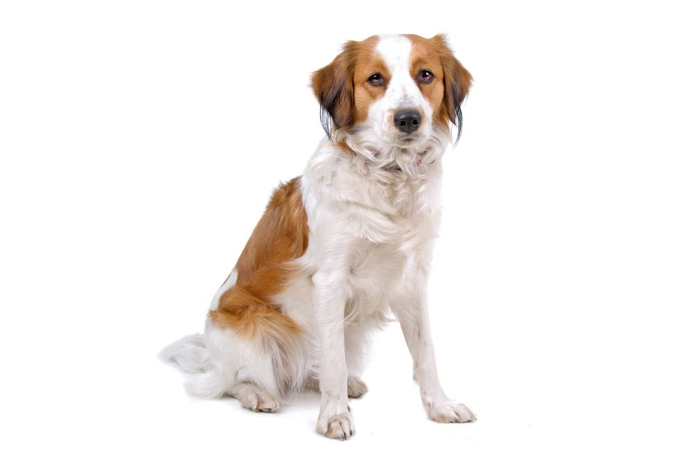 Pequeno Cão Holandês raça