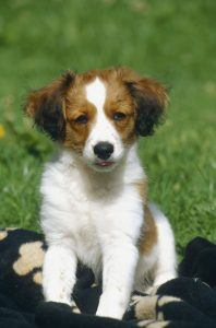 Pequeno Cão Holandês