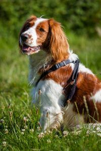 Springer Spaniel galês cão