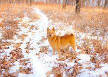 Spitz finlandês cão