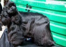 Cocker Spaniel Americano cão