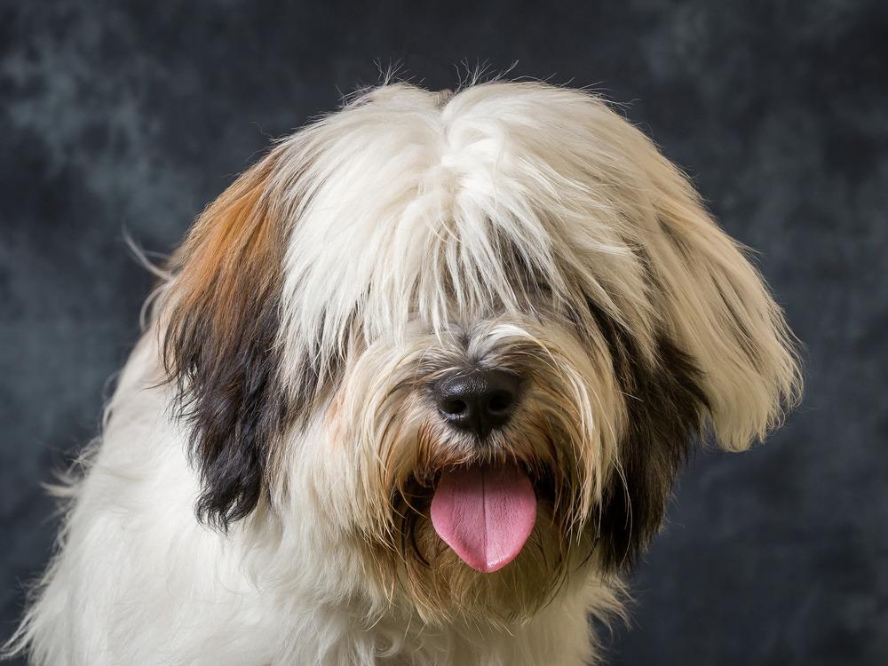 Terrier tibetano cão