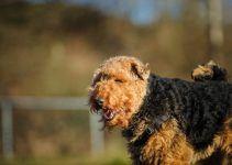 Welsh Terrier cão