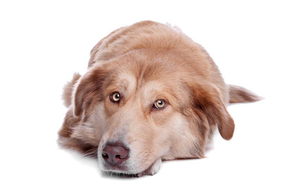 Aidi cão