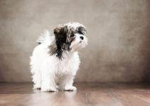 Bolonka cão