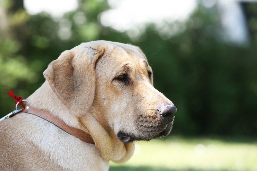 Broholmer cão