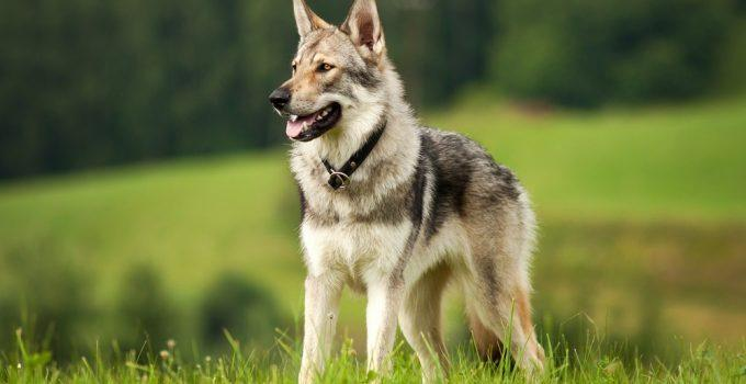 saarlos cachorro