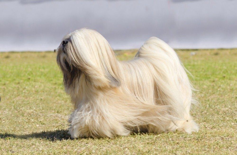 Lhasa apso cão