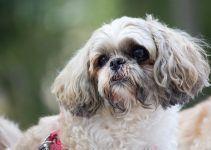 Shih-tzu cão