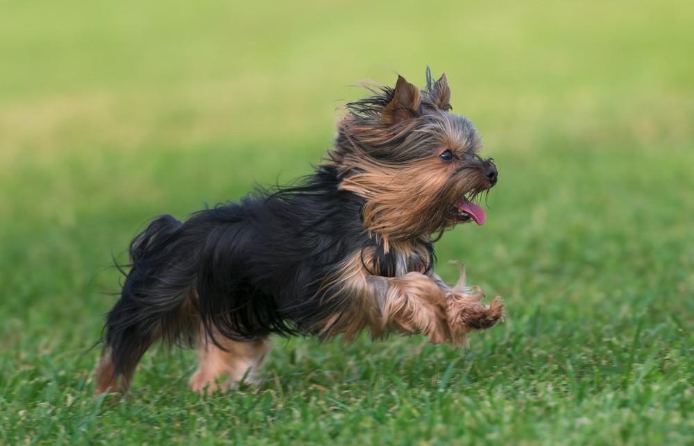 Yorkshire terrier correndo